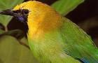 Оранжевобрюхая листовка