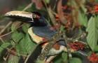 Ошейниковый арасари