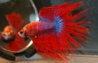 Петушок, или Бойцовая рыбка