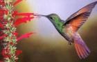 Ракетохвостый колибри-кокет