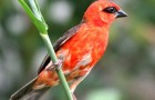 Семейство ткачики или ткачиковые птицы