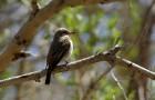 Сибирская мухоловка