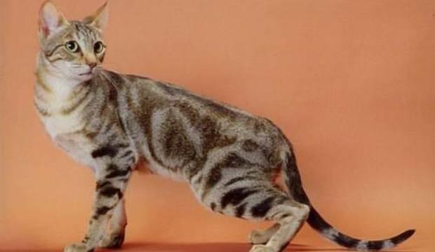 Соукок (Кенийская лесная кошка) (SOK)