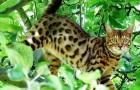 Уссурийская кошка (Уссури) (USU)