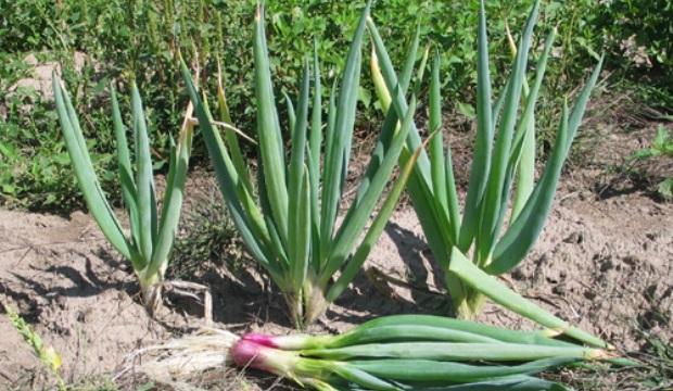 Выращивание лука-батуна