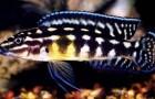 Юлидохромис масковый