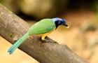 Зелёная (перуанская разноцветная) сойка или сойка инка