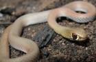 Змея коричневая песчаная
