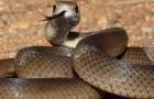 Змея коричневая сетчатая