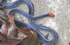 Змея железистая