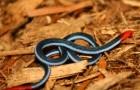 Змея железистая двухполосая