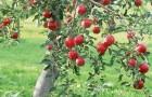 11 августа 2015 года: наклоняем и подвязываем ветки яблонь