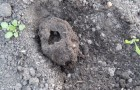 11 июня 2015 года: выемка гнезд медведки