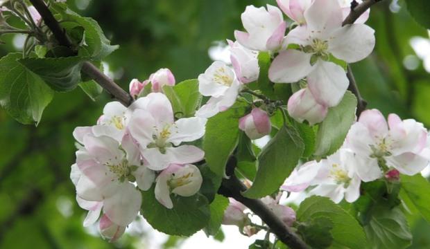 11 марта 2015 года: формировка молодых яблонь