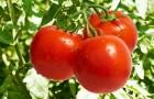 12 августа 2015 года: защищаем помидоры от фитофторы