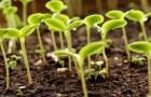 15 марта 2015 года: устраняем токсикоз почвы у рассады