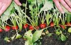 18 июня 2015 года: прореживаем овощи на грядках