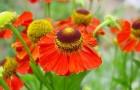 19 августа 2015 года: рассаживаем сеянцы многолетних цветов
