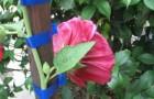 26 июля 2015 года: подвязываем цветы к опоре