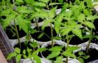 27 апреля 2015 года: высаживаем рассаду помидоров
