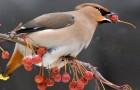 29 августа 2015 года: защищаем рябину от птиц