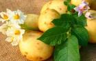 4 июля 2015 года: когда картошка наливается
