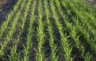 4 июня 2015 года: прореживание ранних посевов