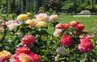 5 апреля 2015 года: заменяем укрытия роз