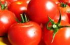 7 июля 2015 года: пасынкуем помидоры