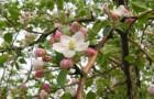 7 марта 2015 года: снимаем верхушку у яблони