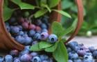 Черника, капуста и шпинат защитят кожу от солнца