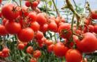Ученые создают помидоры, которые будут расти всю ночь