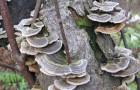 Лекарственные грибы от разных болезней
