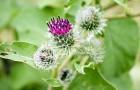 Лопух – много пользы в одном растении