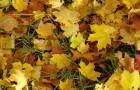 Нужно ли есть опавшие листья или — или поручать сверху зиму?