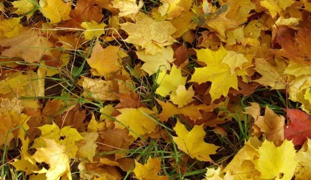 Нужно ли убирать опавшие листья или оставлять на зиму?