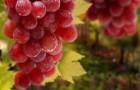 Виноград, повышающий плотность костной ткани