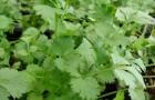 Какие целебные растения позволено растить под своей смоковницей всю зиму