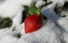 Почему некоторые растения более хладоустойчивы?