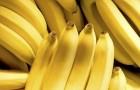 Учёные осудили эксперимент Билла Гейтса с ГМ бананами