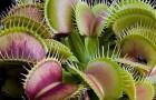 Вегетарианство популярно даже среди плотоядных растений