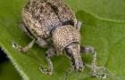 Что делать с устойчивыми к пестицидным ГМО вредителями?