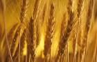 Новым зерновым культурам наводнение не страшно
