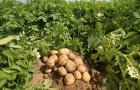 15 мая 2015 года: сажаем картошку