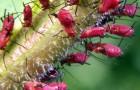 Кровяная яблонная тля