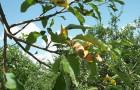Хлороз яблони и груши