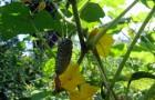 на что обратить внимание при выращивании огурцов