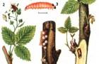 Малинная почковая моль
