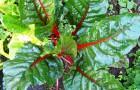Мангольд (листовая свекла)