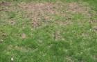 Вредители газона